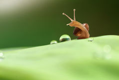 Morning water droplets. Snail on leaf with morning droplets Stock Photography