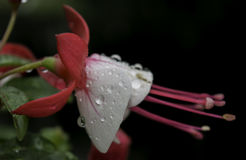 Morning wather on a beautiful flower. Drops of clear wather on a flower Stock Images