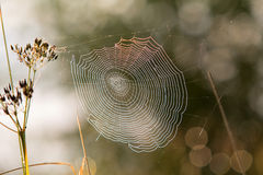 Morning web. Morning spider web on grass Royalty Free Stock Photo