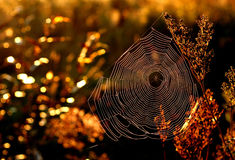 Morning web in golden autumn. Stock Images
