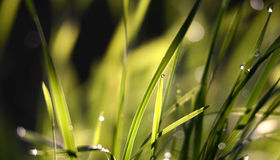 morning wet drops on a grass blades Stock Photos