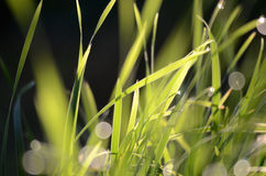 Morning wet drops on a grass blades Stock Photo