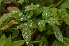 Morning wet leafage with drops after rainy night in Sabie. South Africa Stock Images