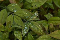 Morning wet leafage with drops after rainy night in Sabie. South Africa Royalty Free Stock Photos