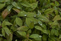 Morning wet leafage with drops after rainy night in Sabie. South Africa Stock Photos