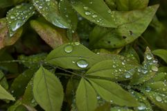 Morning wet leafage with drops after rainy night in Sabie. South Africa Royalty Free Stock Image