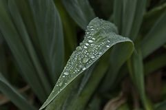 Morning wet leafage with drops after rainy night in Sabie. South Africa Royalty Free Stock Photo