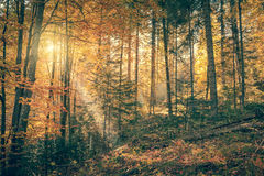Morning in Wild Old Forest, Autumn season, vintage Royalty Free Stock Photography