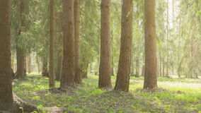 Morning in wild park under fir trees Stock Images
