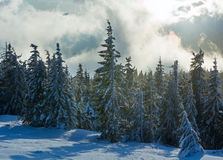 Morning winter fir forest. Stock Image