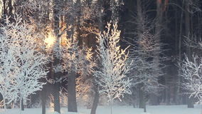 Morning in winter forest. Sunrise in winter forest. Trees covered with snow. Morning in winter forest. Sunrise in winter forest. Panorama of trees covered with stock video footage