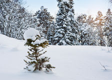 Morning winter mountain landscape with snow covered fir trees in Stock Photo