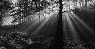 Morning in the wood. The sun ray through a pine forest at Dalat, Vietnam. The city is very wellknown for the cool and misty weather royalty free stock photography