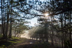Morning in the wood. The sun ray through a pine forest at Dalat, Vietnam. The city is very wellknown for the cool and misty weather royalty free stock image