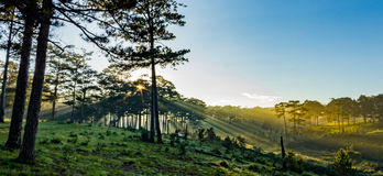 Morning in the wood. The sun ray through a pine forest at Dalat, Vietnam. The city is very wellknown for the cool and misty weather royalty free stock photos