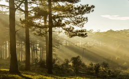 Morning in the wood. The sun ray through a pine forest at Dalat, Vietnam. The city is very wellknown for the cool and misty weather stock photos