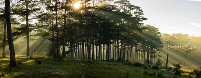 Morning in the wood. The sun ray through a pine forest at Dalat, Vietnam. The city is very wellknown for the cool and misty weather royalty free stock images
