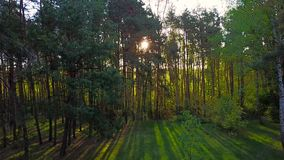 Morning in the wood. Sun`s rays pass through the trees stock footage