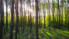 Morning in the wood. Sun`s rays pass through the trees stock video footage