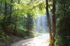 Morning in the woods Royalty Free Stock Images
