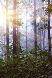 Morning in the woods. Fog in the woods. The sun`s rays in the morning forest penetrate through the trees_. Morning in the woods. Fog in the woods. The sun`s rays royalty free stock photos