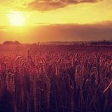 Morning yellow wheat field on the sunset cloudy orange sky background Setting sun rays on horizon in rural meadow Close up nature Stock Photography