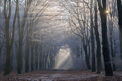 Morninglight breaking through hoarfrost-covered trees in National Park Veluwe royalty free stock photography
