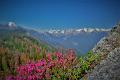Moro Rock, Sequoia and Kings Canyon National Park, California. Moro Rock pink flowers, Sequoia and Kings Canyon National Park, California stock images