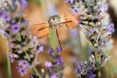 Moro sfinks Patrzeje Dla Niektóre nektaru W Lawendowym polu obraz royalty free