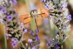 Moro Sphinx Looking For Some Nectar In A Lavender Field royalty free stock image