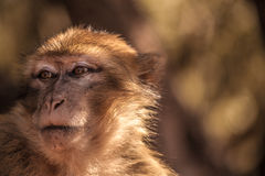 Morocan monkey Stock Images