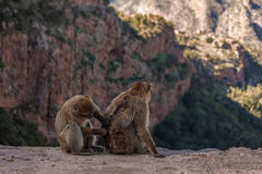 Morocan monkey Royalty Free Stock Images