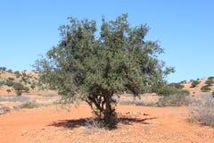 Moroccan Argantree Royalty Free Stock Images