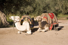 Moroccan camels sat on ground Royalty Free Stock Photo
