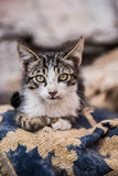 Moroccan cat Royalty Free Stock Photo