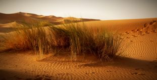 A moroccan desert scenery with desert grass plantation, dunes on Royalty Free Stock Photo