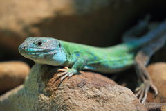 Moroccan eyed lizard Stock Images