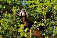 Moroccan goat in argan tree. Goat feeding in argan tree, Morocco Royalty Free Stock Images