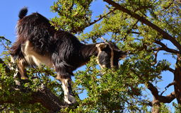 Moroccan goat in argan tree Royalty Free Stock Images