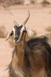 Moroccan goat portrait Stock Photo