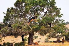 Moroccan goats in an Argan tree (Argania spinosa) eating Argan n Stock Photo