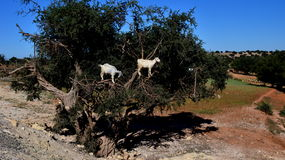 Moroccan goats on argan tree Stock Photos