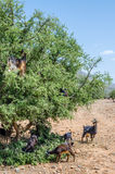 Moroccan goats climbed up on tree eat argan tree nuts in Morocco Royalty Free Stock Photos