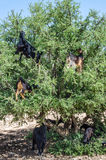 Moroccan goats climbed up on tree eat argan tree nuts in Morocco Royalty Free Stock Image