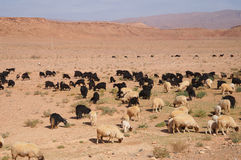 Moroccan goats near oasis in Tineghir , Morocco Royalty Free Stock Images