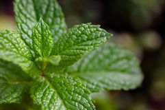 Moroccan Mint Plant Gardening plant herb Royalty Free Stock Photography