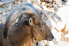 Moroccan Mouflon close up portrait Royalty Free Stock Photos