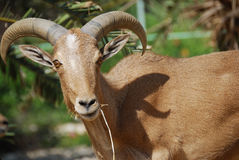 Moroccan mountain goat Royalty Free Stock Image
