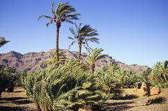 Moroccan palm grove. Important palm grove in Draa valley with palm trees in foreground and rocky cliffs and blue sky as background.Morocco stock photo