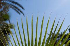 Moroccan Palm tree Royalty Free Stock Images